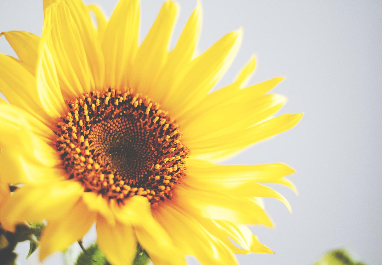 manfaat kesehatan bunga matahari