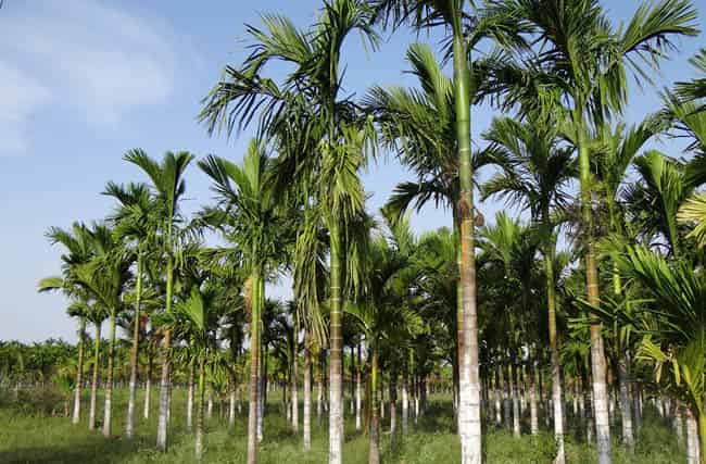 cara menanam pinang agar cepat berbuah