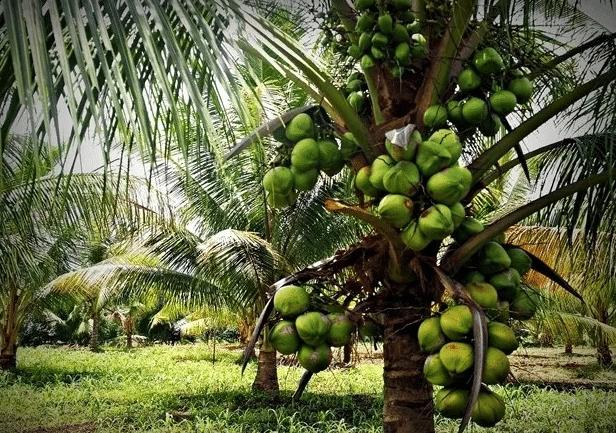 cara menanam kelapa hibrida agar cepat berbuah